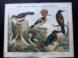 Kirby & Schubert 1889 Print. Woodpecker, Wryneck, Kingfisher, Bee Eater, Hoopoe